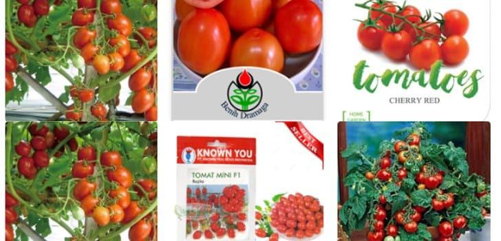 beli bibit tomat unggul tokopedia