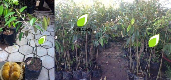 bibit durian musang king terlaris tokopedia