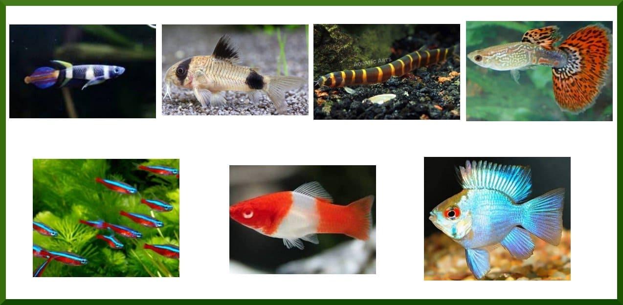 10+ Jenis Ikan Hias Kecil Terbaik Air Tawar dan Laut