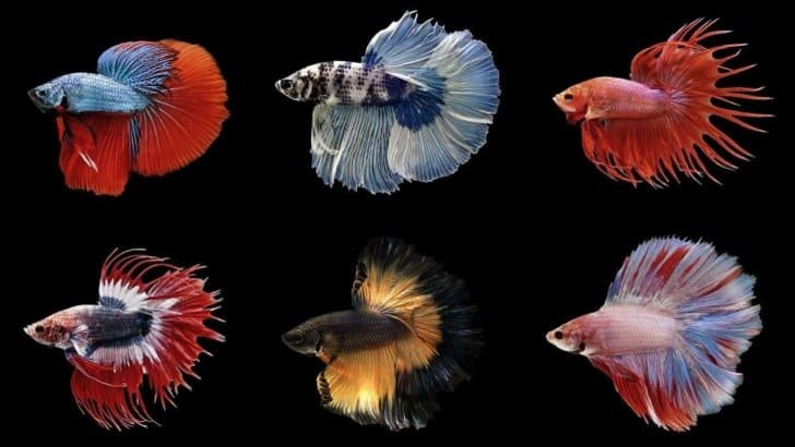 jenis jenis ikan cupang paling indah