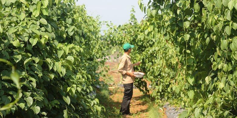 petani kacang sacha inchi cianjur jawa barat