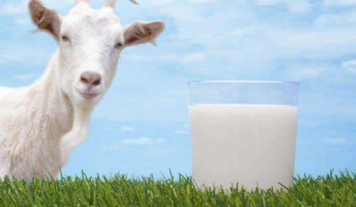 cara memilih susu kambing yang bagus