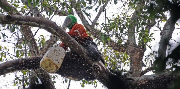 panen madu hutan pohon tinggi