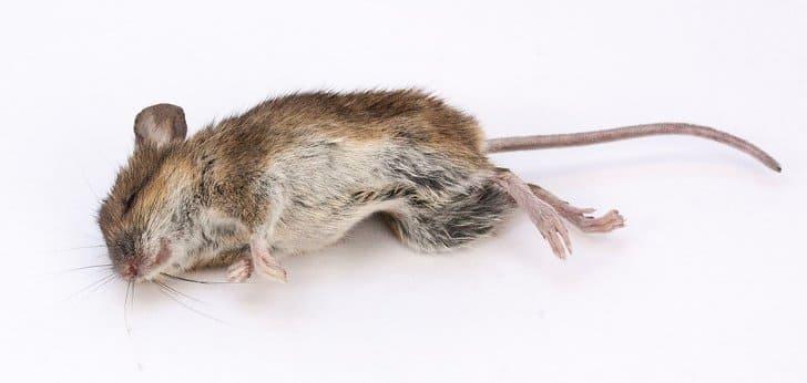 bahaya racun tikus