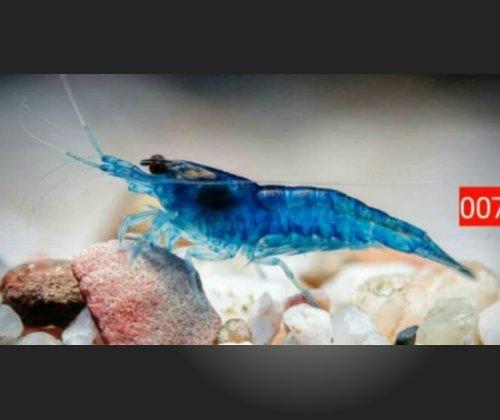 Blue Valvet Shrimp