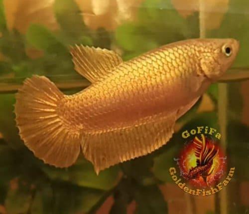 Ikan Cupang Mahal Plakat Super Gold