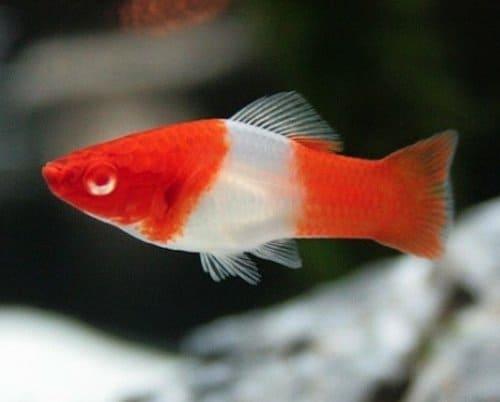 Ikan Hias Air Tawar Platy Santa Clause
