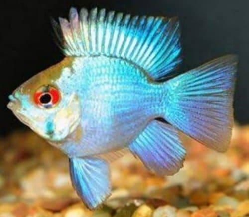 Ikan Hias Blue Electric