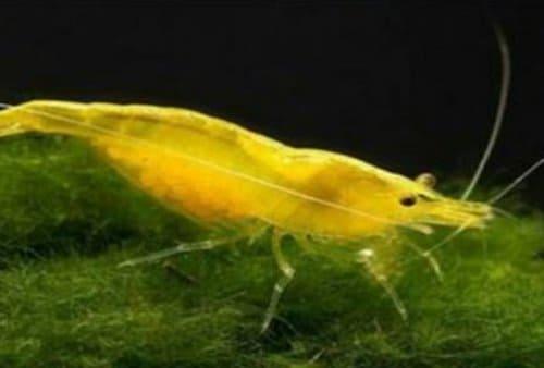 Yellow Fire Shrimp Udang Hias Kuning