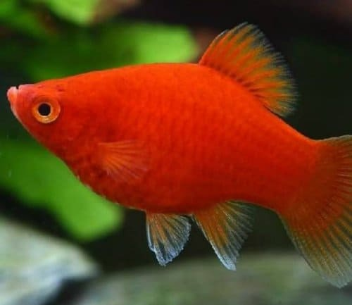 ikan hias kecil lucu platy coral merah