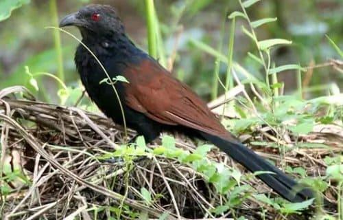 burung but but liar hutan alami