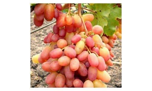 bibit anggur julian