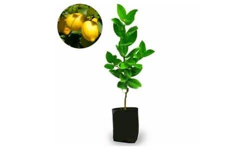 bibit jeruk lemon lokal dan impor california