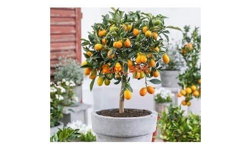 bibit jeruk nagami kulit manis