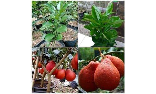 jeruk red pamelo thailand