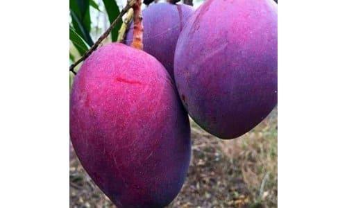 bibit mangga irwin ungu