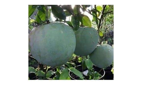 mangga kelapa jumbo