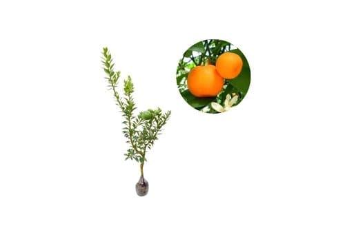 harga bibit jeruk terbaru