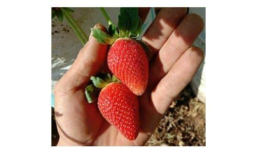 strawberry kelly bright