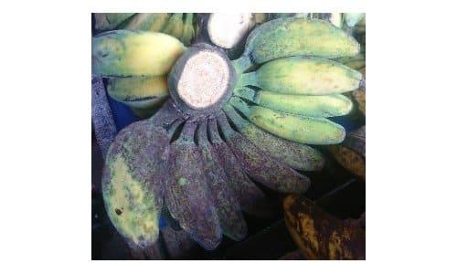 bibit pisang kepok kuning