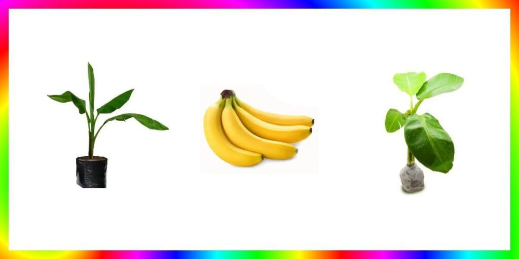 bibit pisang terbaik