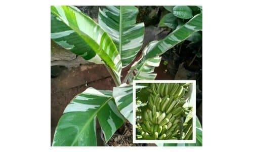 pohon pisang hias varigata