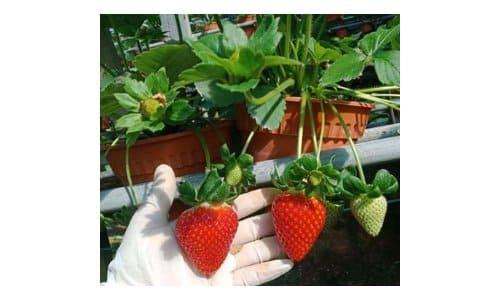 strawberry saga honoka