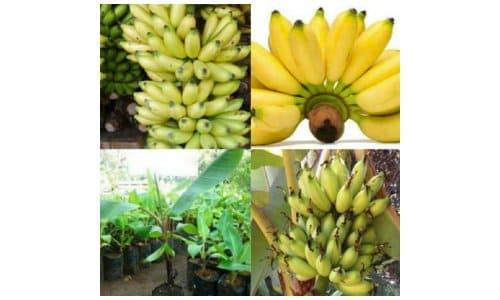 pisang muli