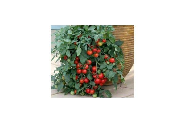 benih tomat ceri merambat