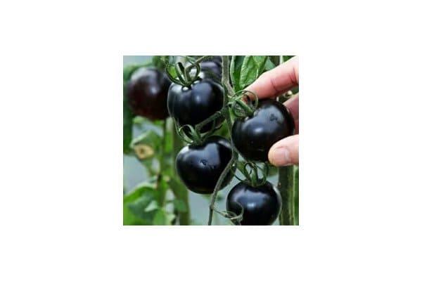 black indigo rose